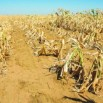 drought-lesothowwwww-2048x1365-1-375x245.jpg